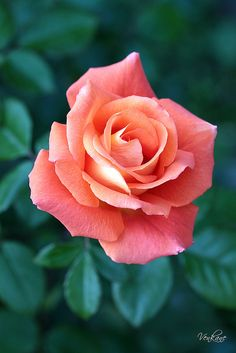 Pretty Peachy Rose