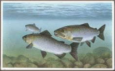 Silver Salmon Pictures