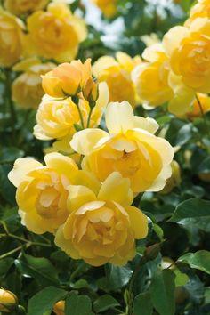 'Buttercup' | David Austin English Rose