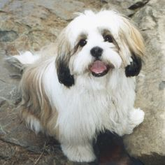 The best daggone dogs on the planet!  Lhasa Apsos baby!  Look at that face.  Don't be fooled, they will boss you!  ;-)