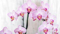 Ako sa starať o orchideu počas kvitnutia?
