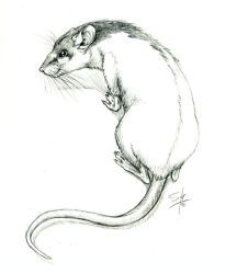 Hooded Rat by aseraph on DeviantArt Animal Sketches, Animal Drawings, Character Drawing, Character Design, Rat Tattoo, Les Rats, Pet Mice, Heart Art, Pencil Drawings