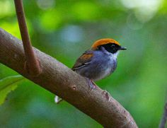 Cuspidor-de-máscara-preta_ Conopophaga melanops_Brazilian Birds
