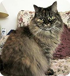 HILLSBORO, OR - Himalayan. Meet Maxine - Senior Beauty - Offered by Owner, a cat for adoption. http://www.adoptapet.com/pet/13548920-hillsboro-oregon-cat