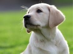 Everyone loves a puppy, but imagine being able to offer one a home for a year, giving it all the experiences to start off on the road to becoming an assistance dog. http://www.dogsforthedisabled.org/support-us/give-your-time/puppy-socialising/#