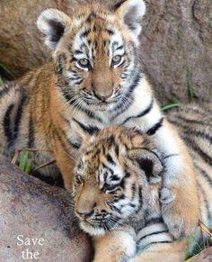 Lovely tiger cubs