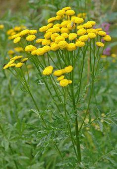 Tanacetum vulgare, pietaryrtti, renfana Fields, Flora, Scenery, Landscape, Semi, Finland, Country, Life, Inspiration