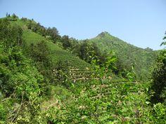 Tea Garden In Huangshan, Anhui, China where Huangshan Maofeng Tea is produced http://www.viconyteas.com/huangshan-mao-feng.html