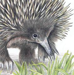 'Echidna' Australian wildlife art greeting card.