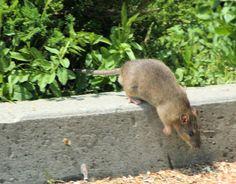 Repelente natural casero contra ratas y ratones