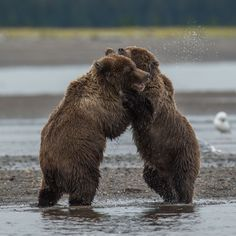Dance with me - Wild grizzly Bear cubs on the beach i Lake Clark national park in Alaska