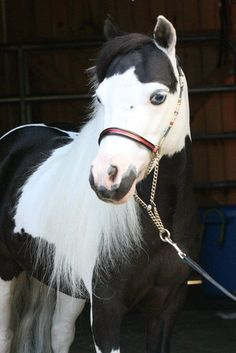 Unique markings on face of this blue eyed horse. Black and white Paint Horse.