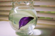 Pretty purple betta fish!