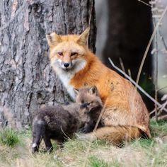 Fox and kits ....