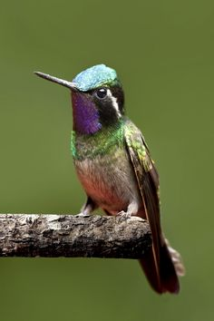 | A male purple-throated mountain-gem resting on a branch in the Monteverde Cloud Forest in Costa Rica