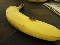 "asteriskos: "" BREAKING NEWS: TINY TOAD SITS ON A BANANA """