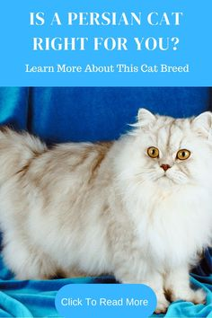 Persian cats are beautiful but do require special care. Click to read more before adding one to your family