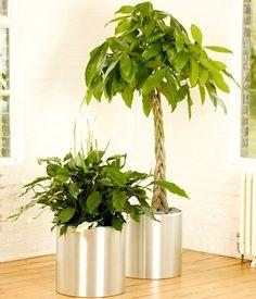 DRACAENA MASSANGEANA Potted plant, Dom plant, 3-stem | Houseplant
