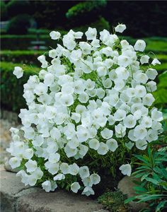 bellflower (campanula carpatica f. alba 'weissse clips'): hardy perennial - low mounds of green foliage + white bells