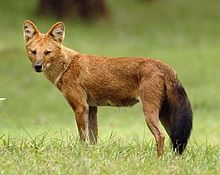 Dhole - The dhole (Cuon alpinus), also called the Asiatic wild dog or Indian wild dog, is a species of canid native to South and Southeast Asia.-Wikipedia, the free encyclopedia