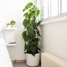 Ficus Lyrata — Urban Gardens, delivered | Patch