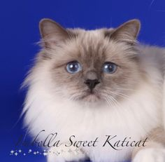 IC EE*Isabella Sweet Katicat ESTONIAN best cats 2016 Best youngster 2nd place! Best female 8th place!