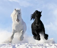 Photo by Vikarus via Deviant Art-This is a photo of a Fresian stallion (black) named Fel-Non and a Shire stallion (white) named Gustav.  I love Fresians to begin with but this shot is awesome.  Love the point of view and how they are running through snow.