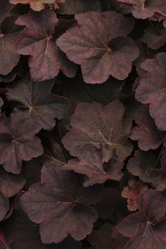 Who says foliage has to be green? 2012 Year of the Heuchera: 'Mocha' Shade Garden, Garden Plants, Outdoor Plants, Coral Bells Heuchera, Gothic Garden, Shade Plants, Gerbera, Earth Tones, Color Inspiration