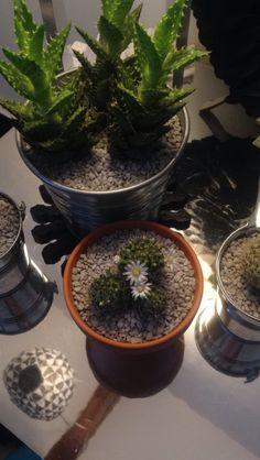 Le petit dernier et déjà fleuri   #cactus #cactusfleuri #fleurs