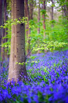 The glorious Friston Forest in East Sussex (just inland from the Seven Sisters cliffs) Ooh I do love a beech wood full of bluebells in the spring