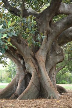 Moreton Bay Fig Tree in Sydney Botanical Gardens Garden Trees, Trees To Plant, Bonsai, Giant Tree, Unique Trees, Old Trees, Tree Roots, Nature Tree, Fig Tree