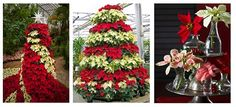 Today is National Poinsettia Day! There are so many different ways to display poinsettias this time of year. How do you incorporate them into your holiday decor?