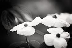 Black and White Photography flowers nature by CarolynCochrane, $33.00