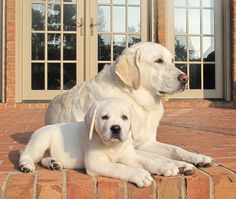 Yellow Labradors - looks like Molly and Becky when they were younger.