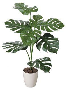 モンステラ : 観葉植物でお部屋をオシャレに♪ 心も体もリフレッシュ♪ - NAVER まとめ