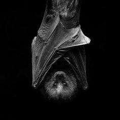 Fruit Bat by ~hidarime-images on deviantART