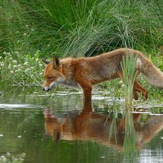 Red Fox by Yvette Natuurfotografie | Zoom.nl