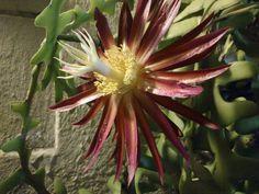 Flores nocturnas Selenicereus anthonyanus