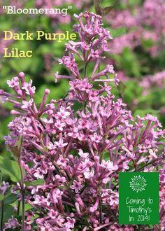 Bloomerang Dark Purple Lilac