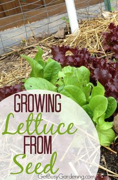 I have tried growing my own lettuce before, but failed miserably! After reading this, I can see what I was doing wrong. I can't wait to try again this year! So easy!