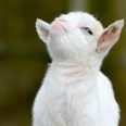 Smug little bastard of a goat. Smug little bastard of a goat. Cute Baby Animals, Animals And Pets, Funny Animals, Nature Animals, Animal Memes, Wild Animals, Baby Goats, Tier Fotos, Cute Babies
