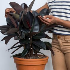 Rubber Tree: Whether in burgundy or regular green, Rubber Trees will produce lots of oxygen (more than other plants!) and also get rid of formaldehyde while they're at it.