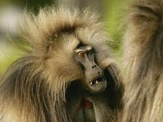 gelada monkey - Google Search