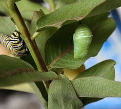 """""""Saving the monarch butterfly""""   Article with link to the Monarch Waystation Program.    Monarch caterpillar and chrysalis"""
