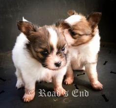 Road's End Papillons : 4 Week Old Papillon Puppies