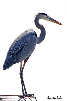 Great Blue Heron Yikes...came to my pond fishing  & ate some goldfish