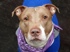 TO BE DESTROYED - 04/06/14 Manhattan Center -P My name is STARK. My Animal ID # is A0994234. I am a male white and brown pit bull mix. The shelter thinks I am about 4 YEARS old. I came in the shelter as a STRAY on 03/17/2014 from NY 10029, owner surrender reason stated was STRAY. https://www.facebook.com/photo.php?fbid=779764322036449&set=a.611290788883804.1073741851.152876678058553&type=3&theater