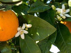 Orangenbaum blüht