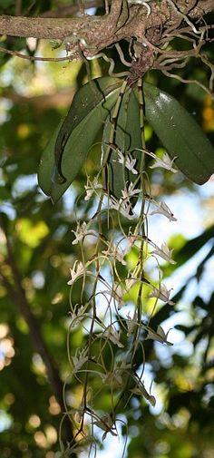OrchidsMontDAmbre1FF_CM.jpg (280×600)