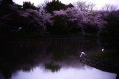 Kersenbloesem in Japan.